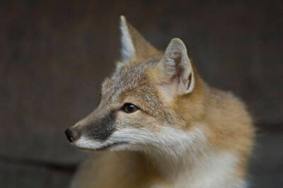 A swift fox (Vulpes velox) at the Omaha Zoo, Omaha, Nebraska.