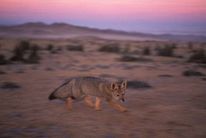 Photo: A fox in the cactus forest of Pan de Azuca National Park in the Atacama Desert.
