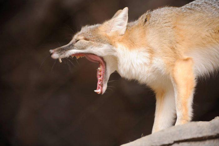 A swift fox (Vulpes velox) at the Omaha Zoo, Omaha, Nebraska.