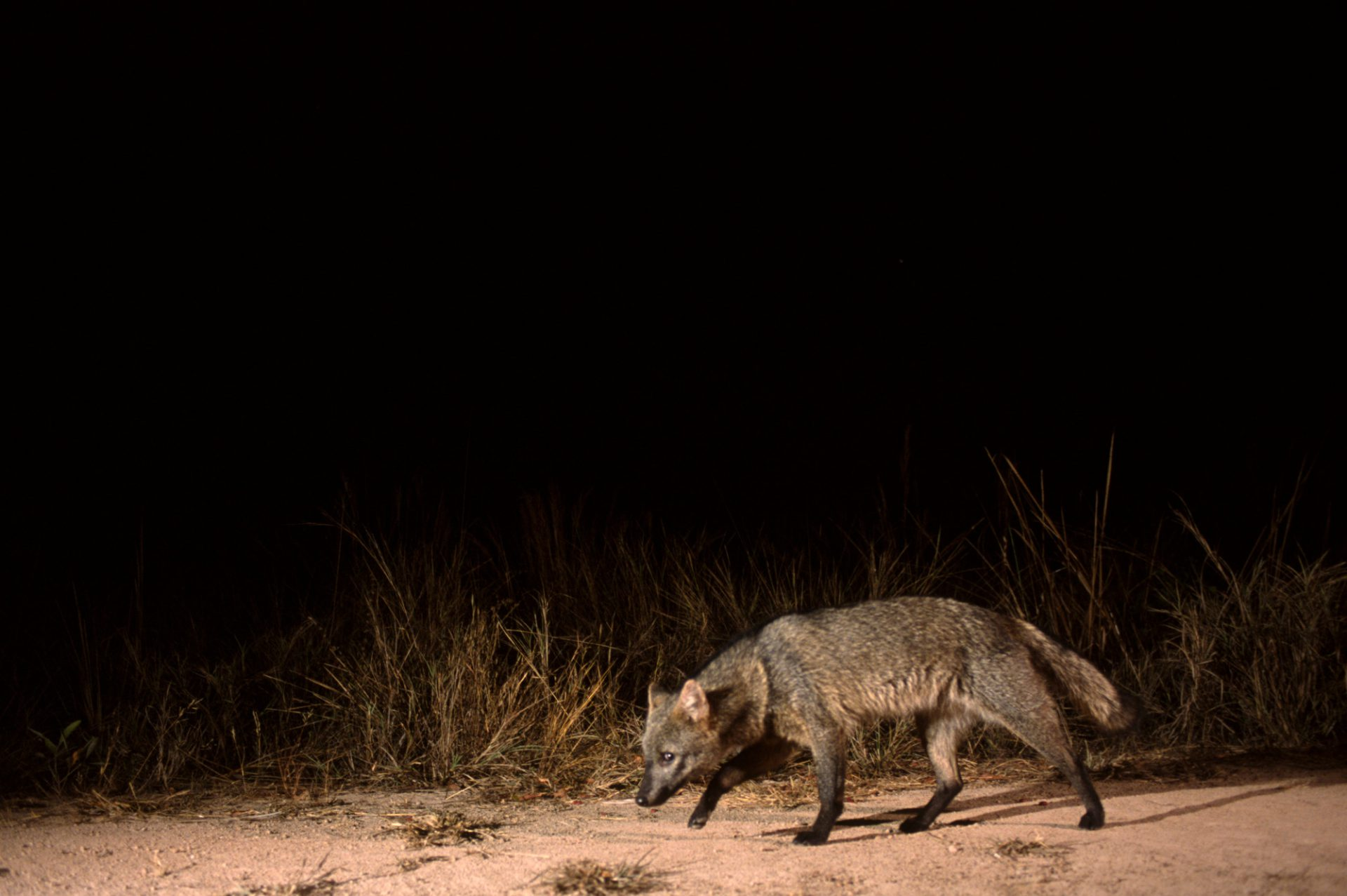 A crab-eating fox (Cerdocyon thous) takes its own picture by breaking the beam of an infra-red camera trigger in Brazil's Pantanal region.