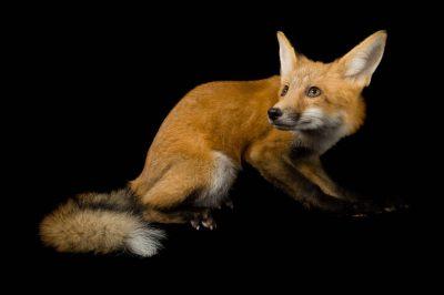 A red fox (Vulpes vulpes).