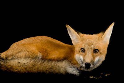 A red fox (Vulpes vulpes vulpes) at Nebraska Wildlife Rehab.