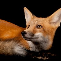 Photo: A red fox (Vulpes vulpes).