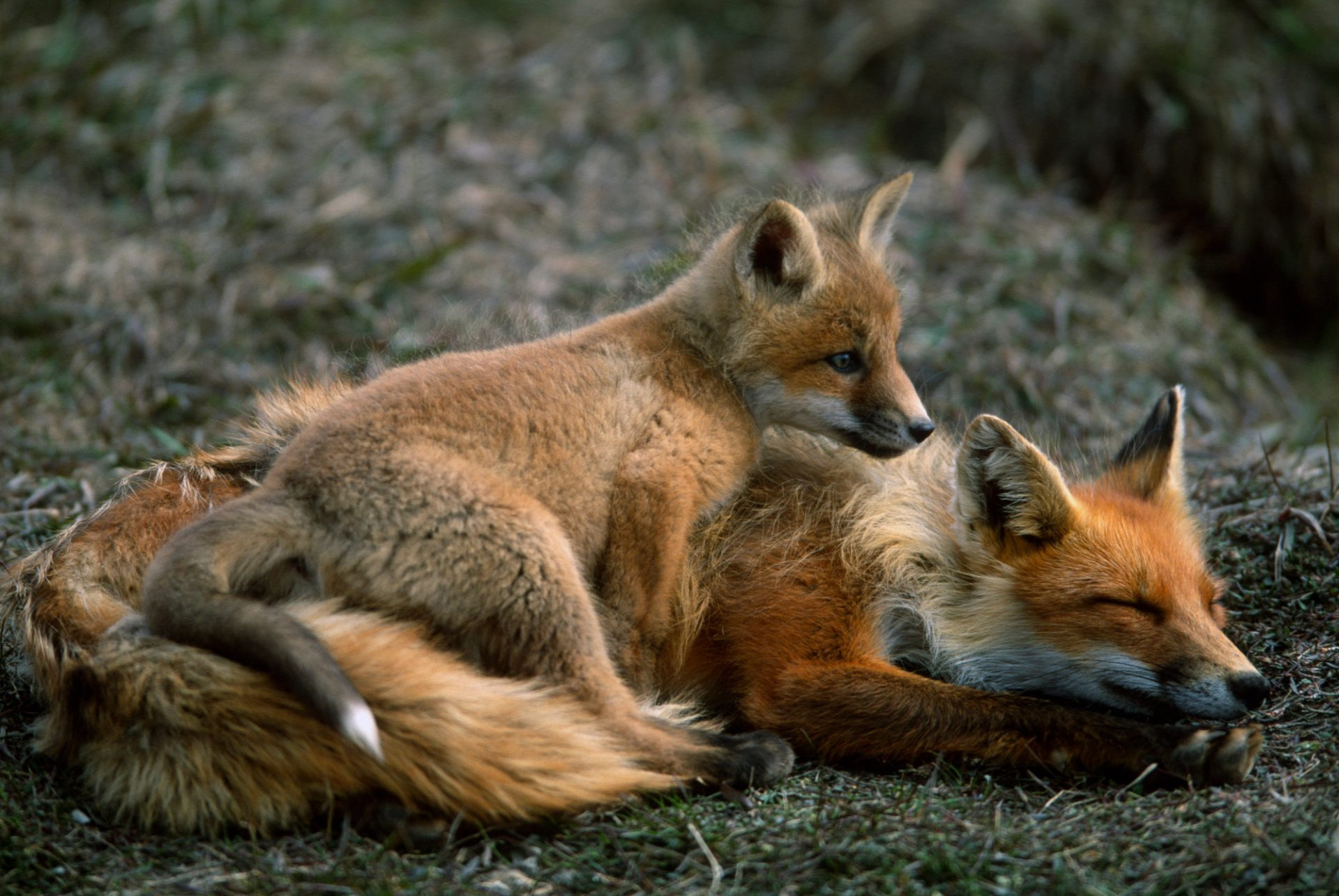 A red fox (Vulpes vulpes) and kit at the edge of an oil field on Alaska's North Slope near Prudhoe Bay.