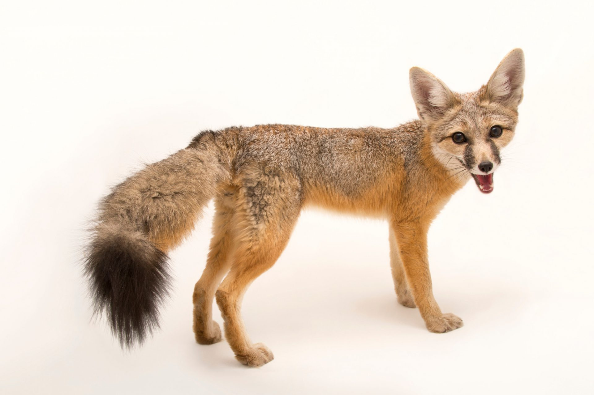 A kit fox (Vulpes macrotis) named Frankie at The Living Desert.