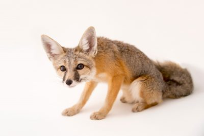 A kit fox (Vulpes macrotis) named Frankie at The Living Desert in Palm Desert, California.