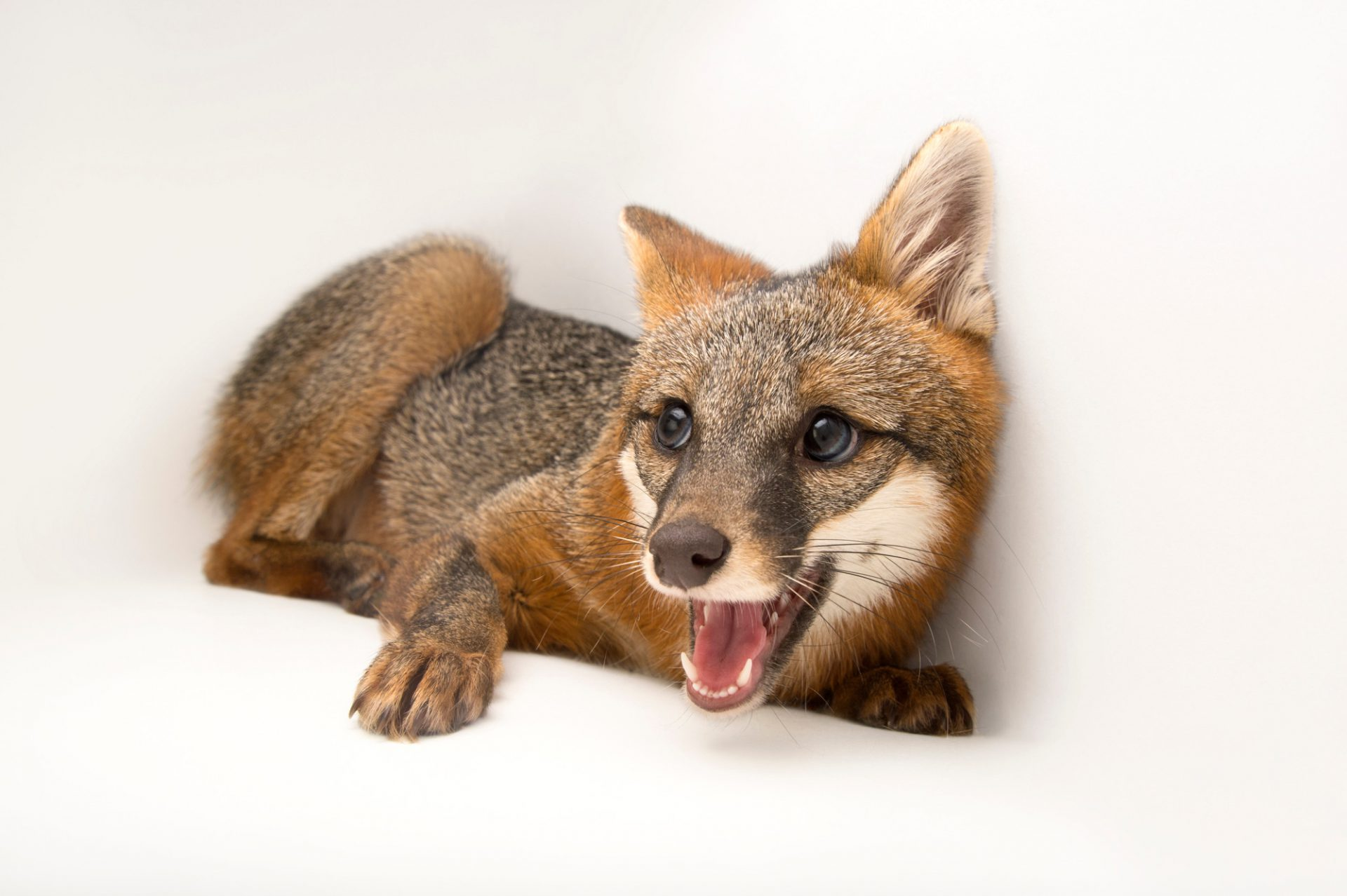 A female gray fox (Urocyon cinereoargenteus floridanus), This fox was taken to St. Francis Wildlife Association, a wildlife rescue center near Quincy, Florida, after it had been hit by a car.