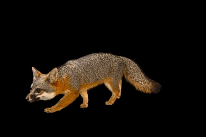 Picture of a San Clemente Island fox (Urocyon littoralis clementae) at the Santa Barbara Zoo.