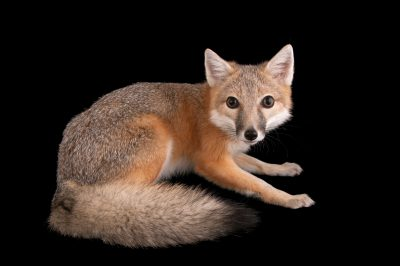 A swift fox (Vulpes velox) at the Columbus Zoo.