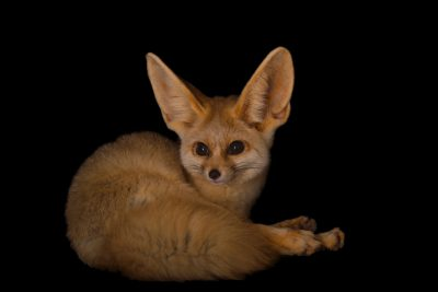 A fennec fox (Vulpes zerda) named 'Sophie' at the Chattanooga Zoo.