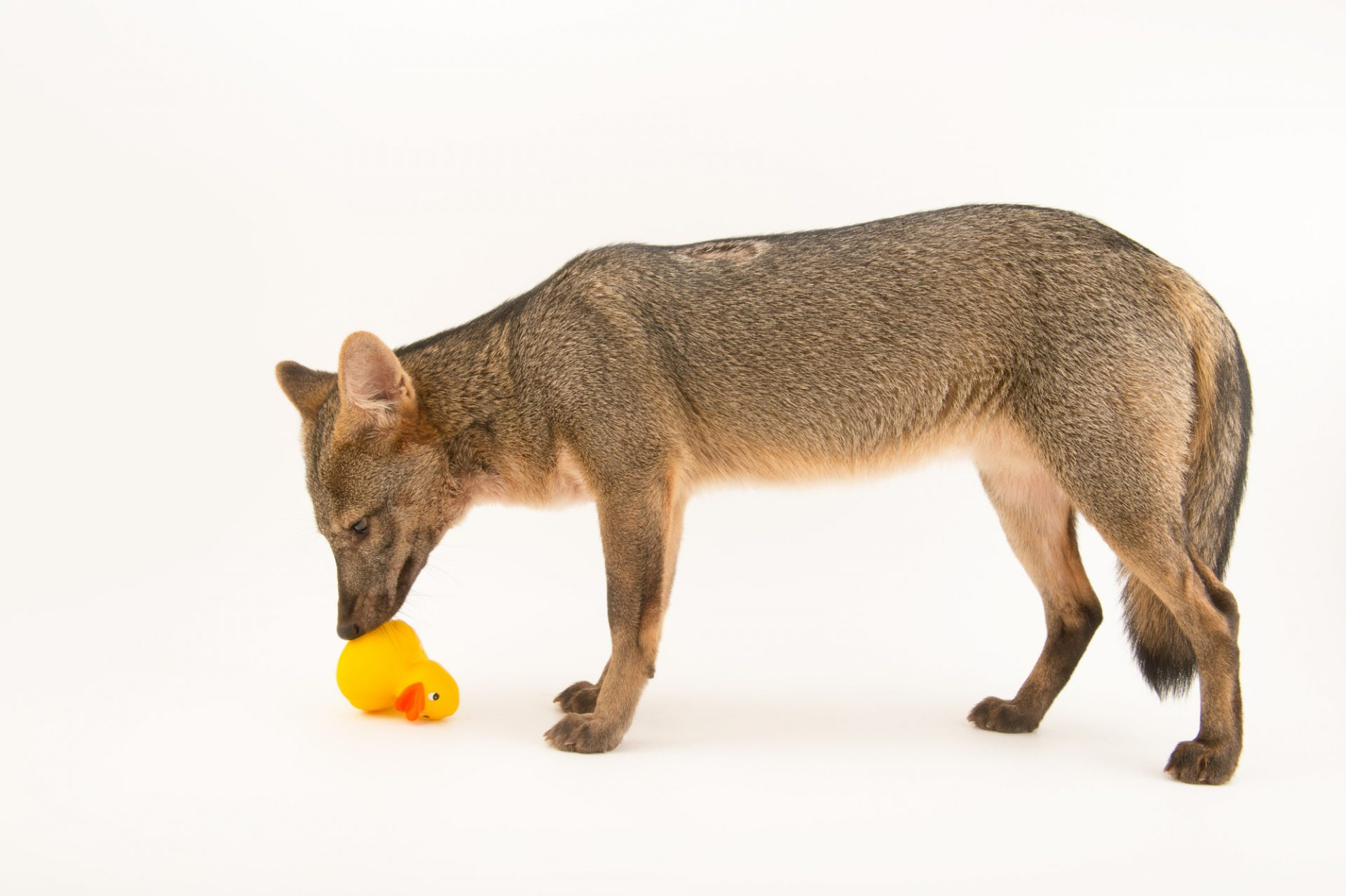 Picture of a crab-eating fox (Cerdocyon thous) named Pepito plays with a rubber ducky at the Summit Municipal Park in Gamboa, Panama.