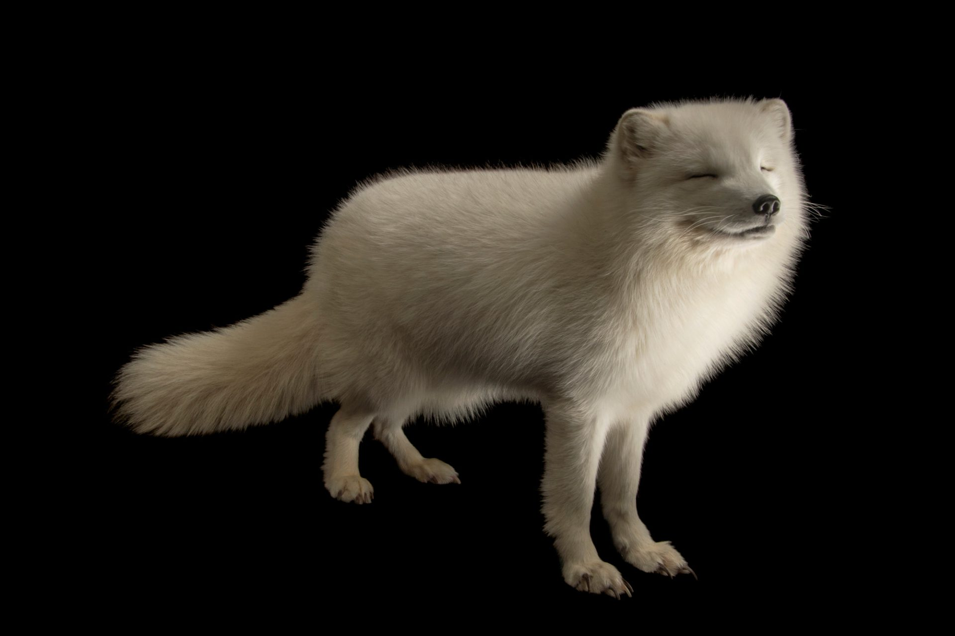Picture of an Arctic fox (Vulpes lagopus) named Todd, at the Great Bend Brit Spaugh Zoo in Great Bend, Kansas.