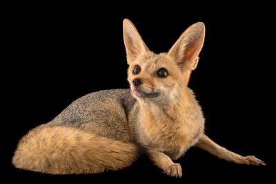 Photo: A cape fox (Vulpes chama) at the Plzen Zoo.