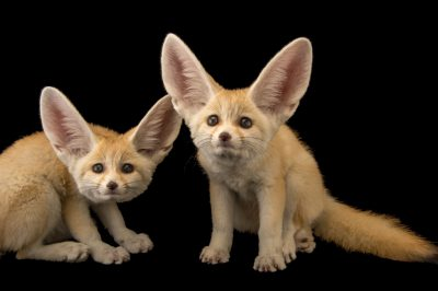 Photo: Ten-week-old fennec fox kits (Vulpes zerda) at the Saint Louis Zoo.