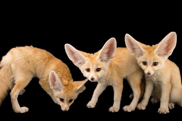 Photo: Three fennec foxes (Vulpes zerda) at the Saint Louis Zoo.