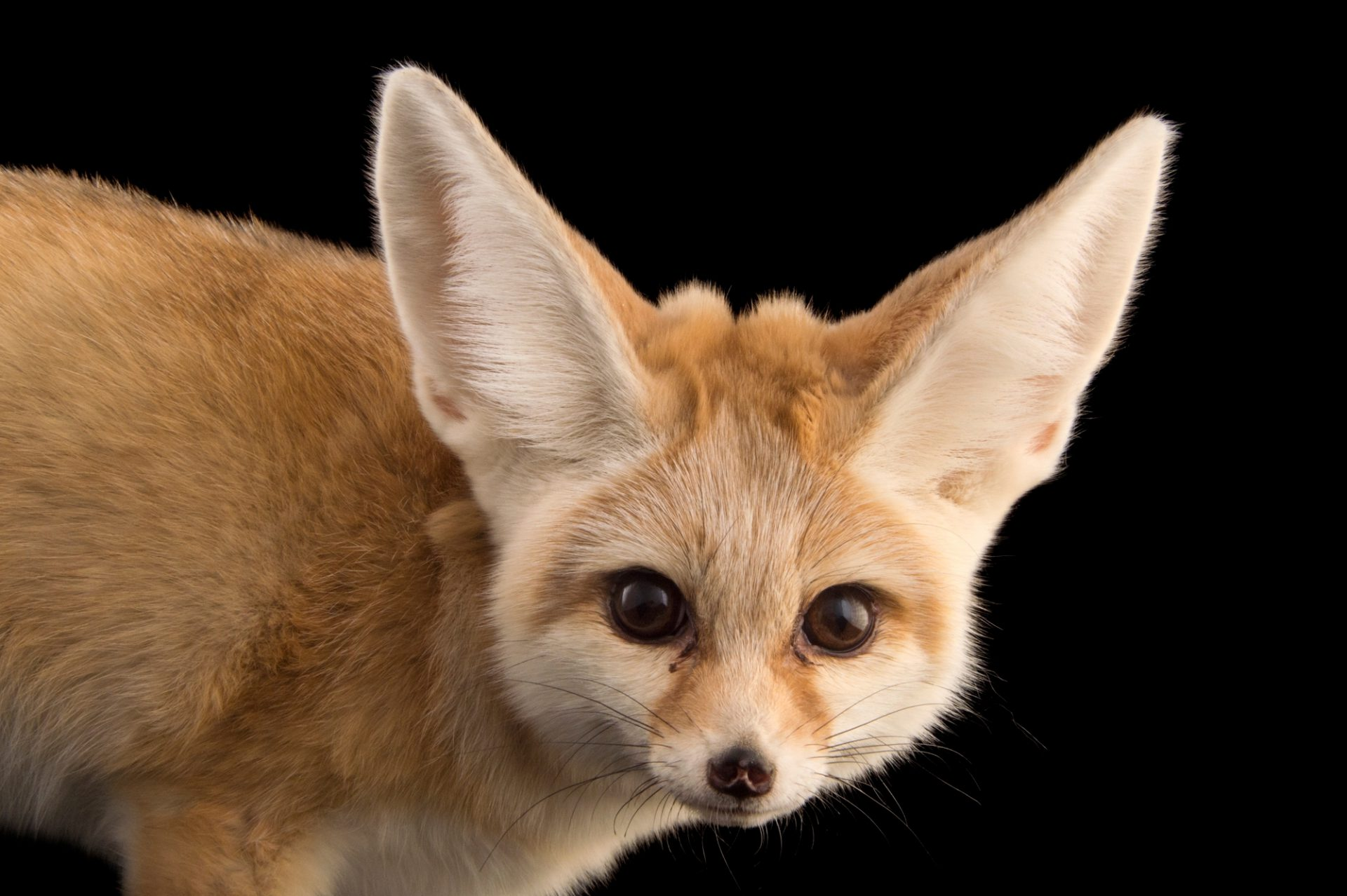 Picture of an adult male fennec fox (Vulpes zerda) at the Saint Louis Zoo