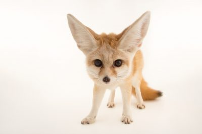 Photo: An adult male fennec fox (Vulpes zerda) at the Saint Louis Zoo