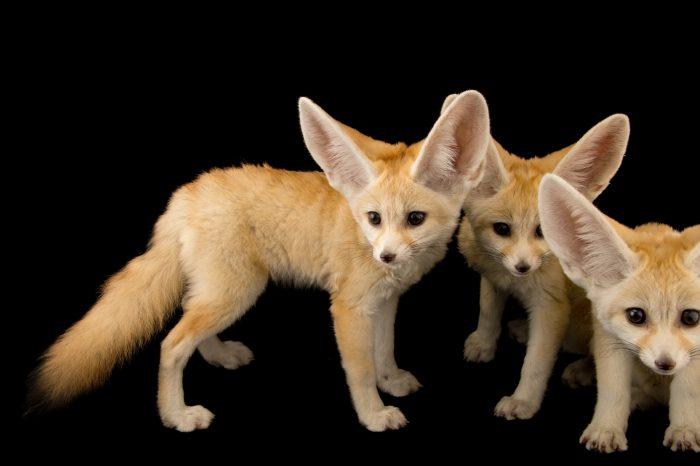 Photo: Three ten week old fennec fox kits (Vulpes zerda) at the Saint Louis Zoo.