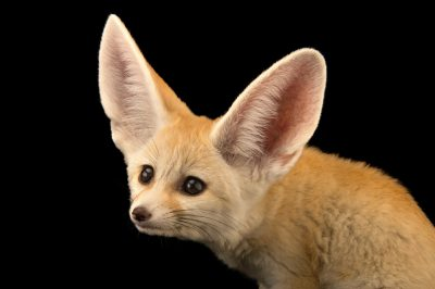 Photo: A 10-week-old fennec fox kit (Vulpes zerda) at the Saint Louis Zoo.