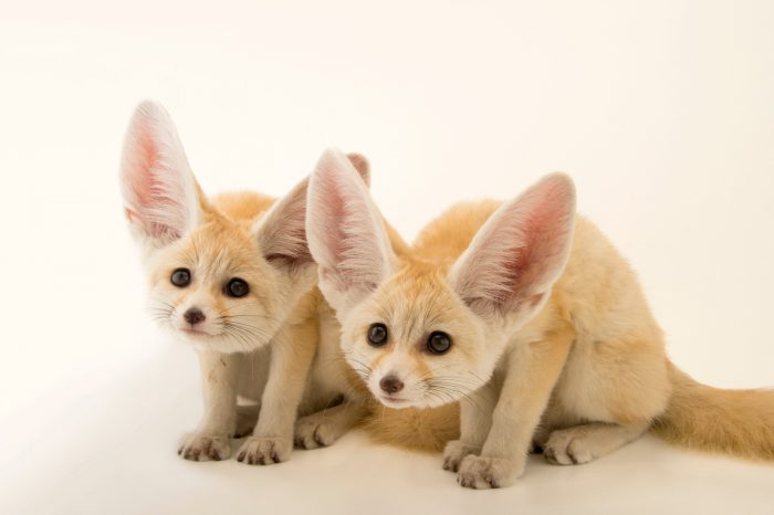 Picture of two 10-week-old fennec fox pups/kits (Vulpes zerda) at the St. Louis Zoo
