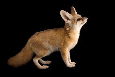Picture of a 10-week-old fennec fox kit (Vulpes zerda) at the Saint Louis Zoo.