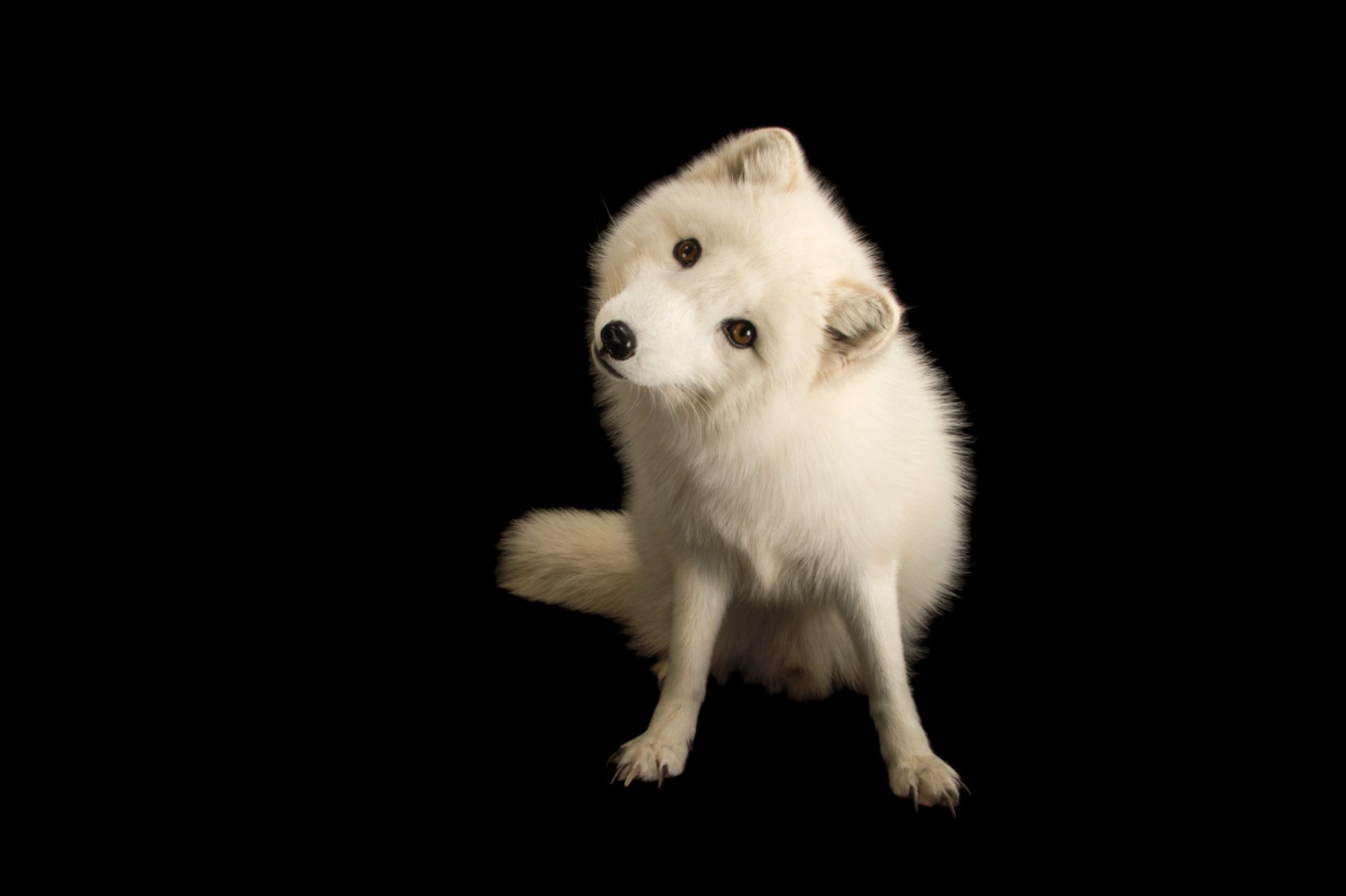 Picture of an Arctic fox, Vulpes lagopus, at the Great Bend Brit Spaugh Zoo in Great Bend, Kansas.