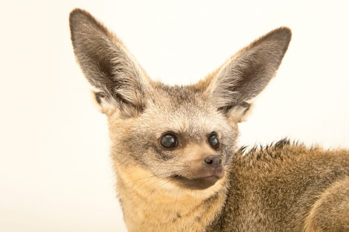 A bat eared fox (Otocyon megalotis virgatus) at the Plzen Zoo.