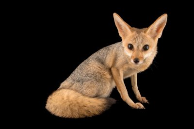 Photo: A cape fox (Vulpes chama) at the Plzen Zoo,