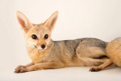 Photo: A cape fox (Vulpes chama) at the Plzen Zoo.