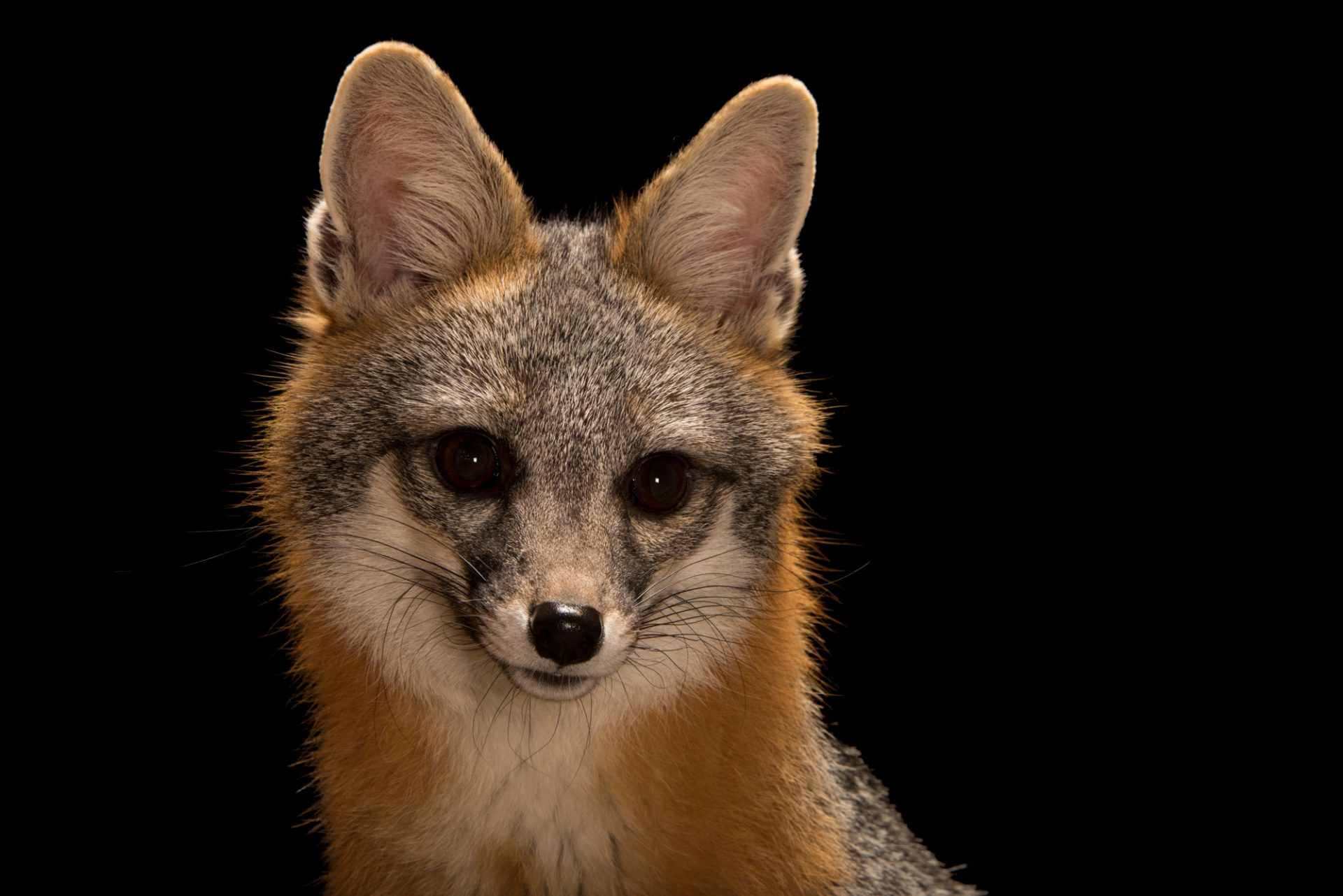 Photo: Southwestern gray fox (Urocyon cinereoargenteus scottii) at Southwest Wildlife Conservation Center in Scottsdale, AZ. This animal is named Frank.