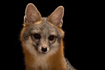 Photo: Southwestern gray fox (Urocyon cinereoargenteus scottii) at Southwest Wildlife Conservation Center in Scottsdale, AZ. This animal is named Frank.