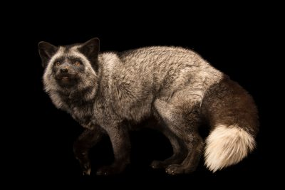 "Photo: Silver variation, red fox (Vulpes vulpes) named ""Sterling"" at Southwest Wildlife Conservation Center."