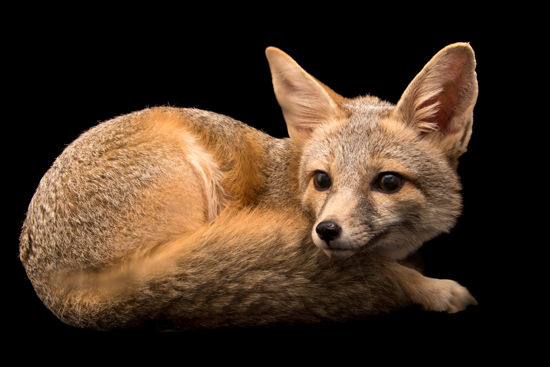 Arizona kit fox (Vulpes macrotis arizonensis) at Southwest Wildlife Conservation Center.