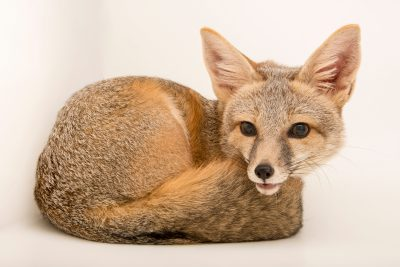Arizona kit fox (Vulpes macrotis arizonensis) at Southwest Wildlife Conservation Center.
