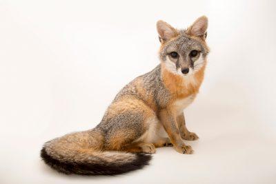 Photo: Southwestern gray fox (Urocyon cinereoargenteus scottii) at Southwest Wildlife Conservation Center.
