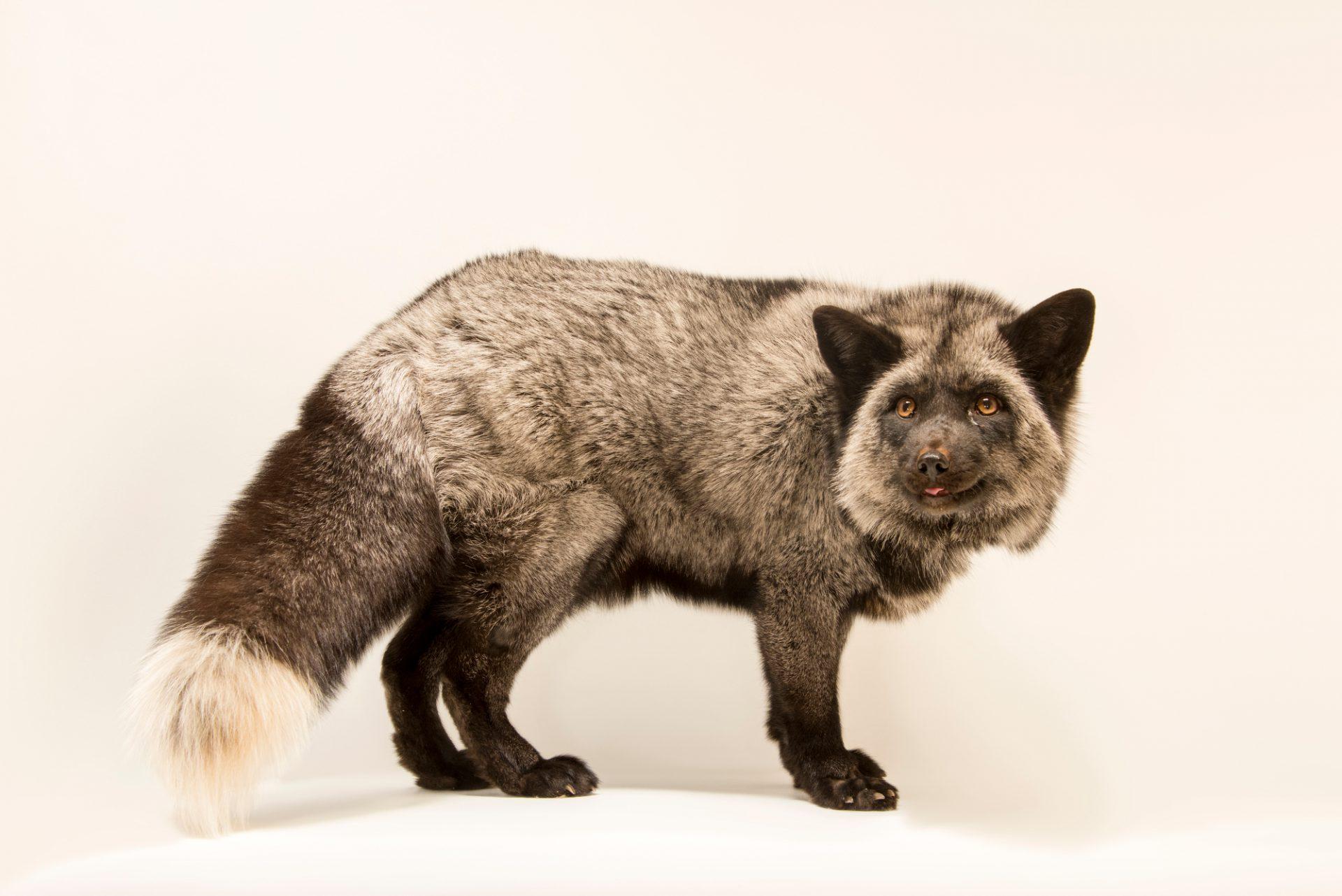 "Photo: Silver variation, red fox (Vulpes vulpes) named ""Sterling"" at Southwest Wildlife Conservation Center."