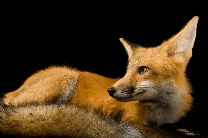 Photo: A red fox (Vulpes vulpes vulpes) at Nebraska Wildlife Rehab.