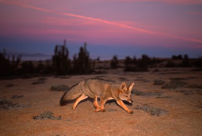 Photo: Gray fox in the Atacama Desert in Chile.