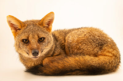 Photo: A female hoary fox (Lycalopex vetulus) at Fundacao Jardim Zoologico de Brasilia.