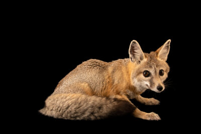 "Photo: A San Joaquin kit fox (Vulpes macrotis mutica) at the Big Bear Alpine Zoo. This animal is named ""Kit Kat"". This species is federally endangered."