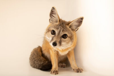 """Photo: A San Joaquin kit fox (Vulpes macrotis mutica) at the Big Bear Alpine Zoo. This animal is named """"Kit Kat"""". This species is federally endangered."""