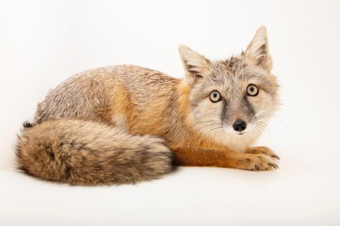 Photo: A corsac fox (Vulpes corsac) at Zoopark Zajezd.