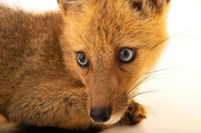 Photo: A juvenile Andean fox (Lycalopex culpaeus culpaeus) at Unidad de Rehabilitación de Fauna Silvestre.