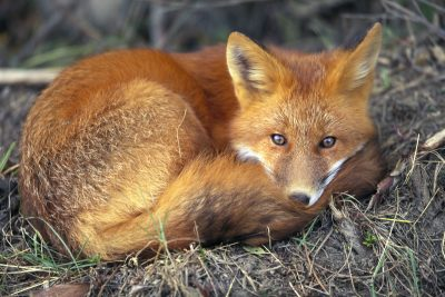 Photo: The red fox is usually recognized by its reddish coat, its white-tipped tail, and black stockings, although the species does have many color variations.