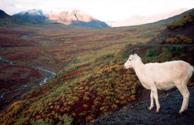 Photo: Dall sheep in Denali National Park in Alaska's Interior.