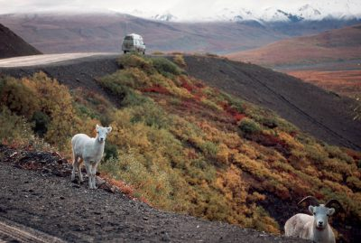 Photo: Dall sheep in Denali National Park in Alaska's Interior.