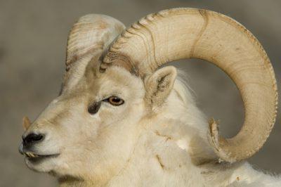 Photo: A dall sheep (Ovis dalli dalli) at the Denver Zoo.