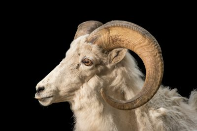 Photo: A male Dall sheep (Ovis dalli) at the Alaska Zoo.