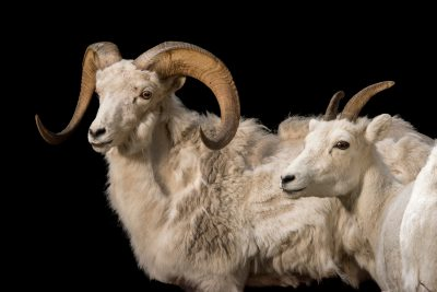Photo: A male and female Dall sheep (Ovis dalli) at the Alaska Zoo.