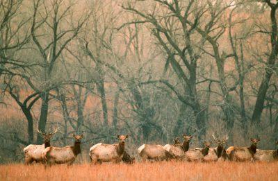 Photo: Elk in the tallgrass prairie, Kansas.
